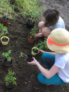 Auspflanzung von Setzlingen
