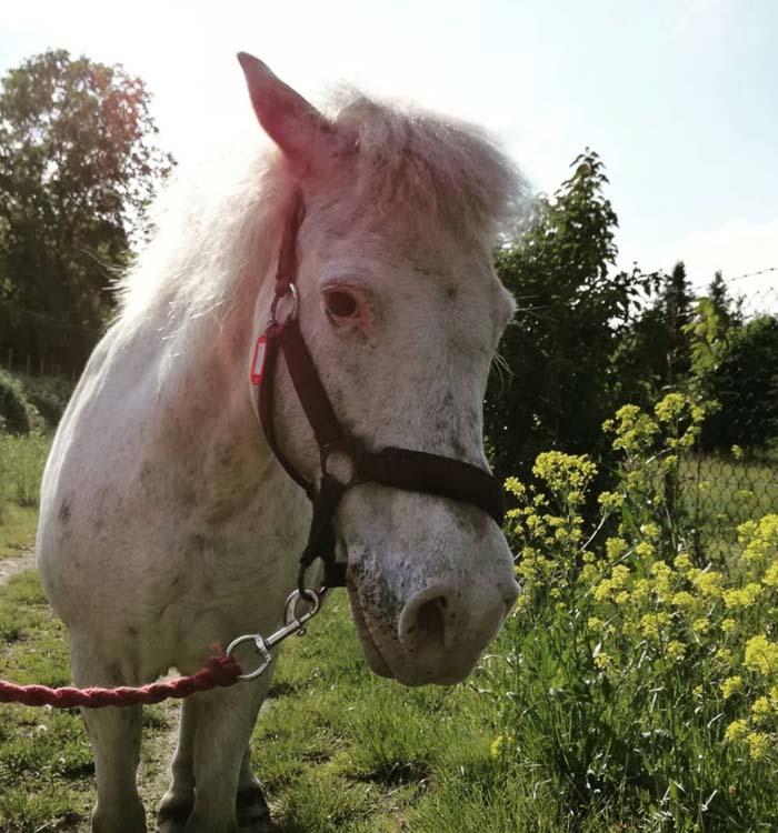 weißes Pony Bella