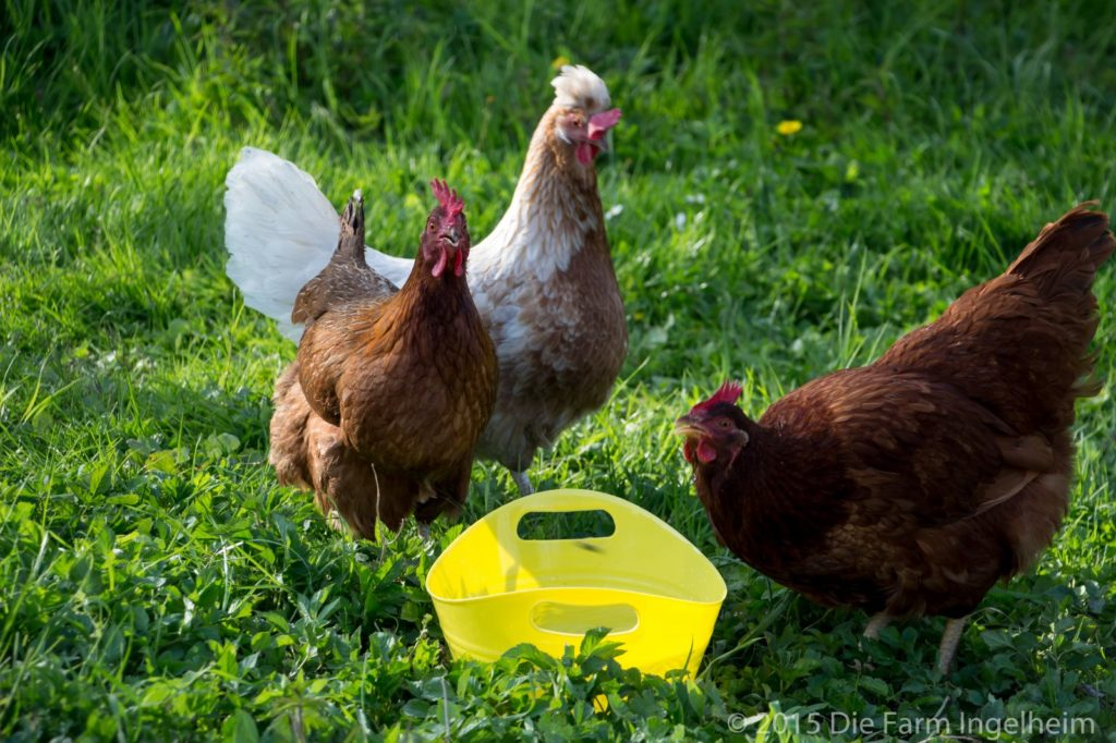 Hühner im Frühling